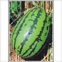 (Dragon Type) - Watermelon (Hybrid) Seeds