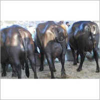 Murrah Breed Buffalo