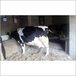HF Cross Breed Cow