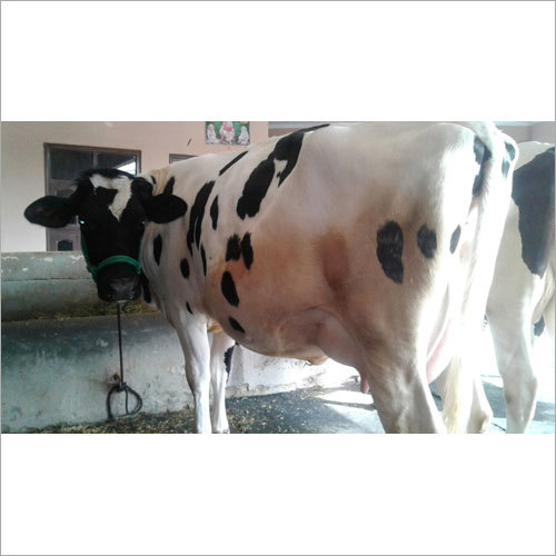 Indian HF Breed Cow
