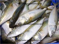 Indian Mackerel Exporter