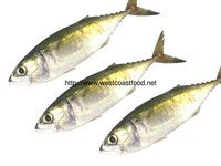 Fresh Indian Mackerel