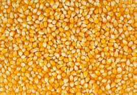 Maize Seeds