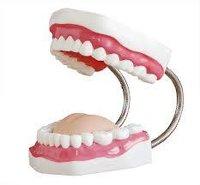 Dental teeth model
