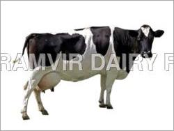 Pregnant Holstein Heifers