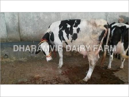 Cross Breed Hf Cow