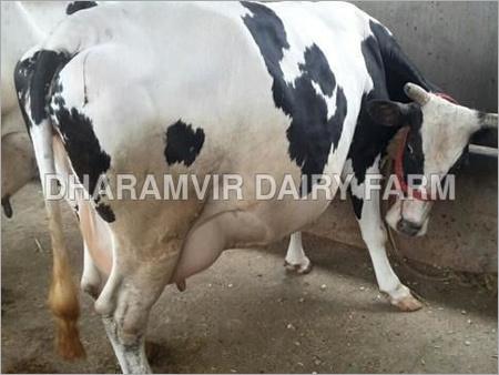 High Milk Yeilding HF Cow