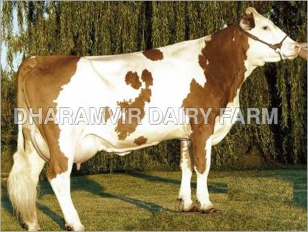 Jersey Cross Breed Cows