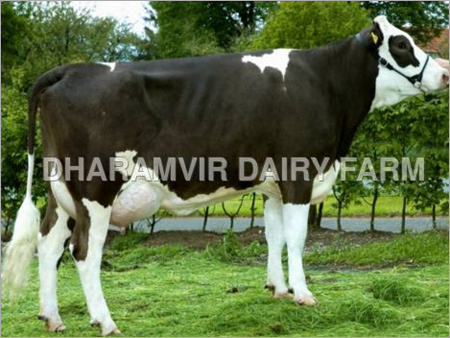 High Milk Cross Breed Cows