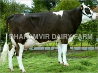 High Milk Cross Breed Cows