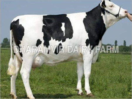 Indian Cross Breed Cows