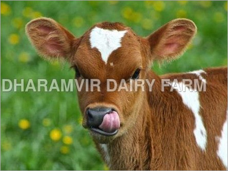 Cross Breed Calf