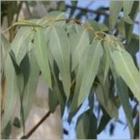 Eucalyptus Dry Leaves