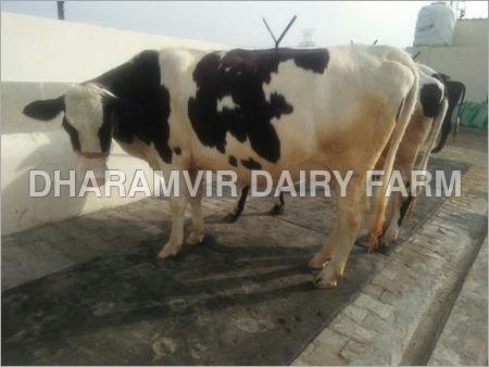 HF Cross Breed Cows