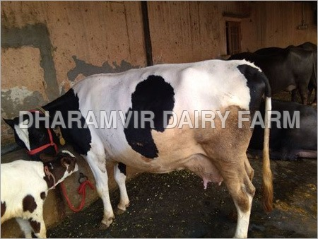 Imported Cross Breed Cows
