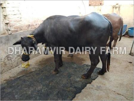 High Milk Yielding Murrah Buffalo