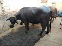High Milk Yielding Murrah Buffalo