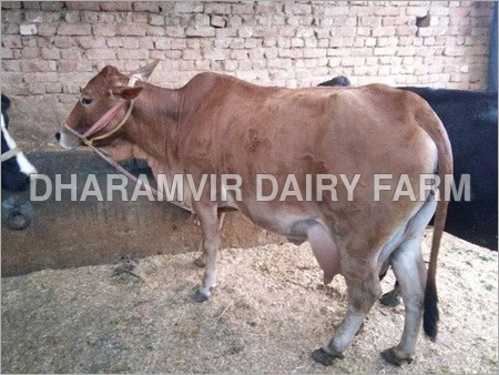 Pure Sahiwal Cattle