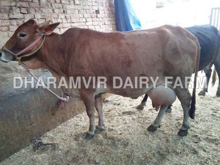 Cross Breed Sahiwal Cow
