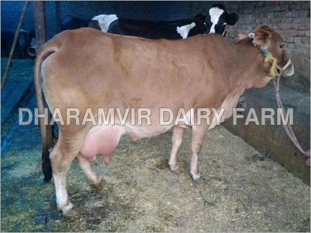 Sahiwal Cattle