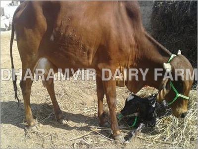 Pregnant Sahiwal Cow