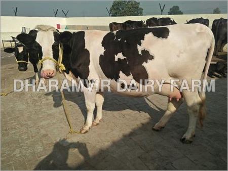 Pregnant Hf Cow