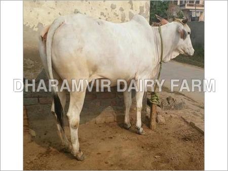Tharparkar Cow supplier