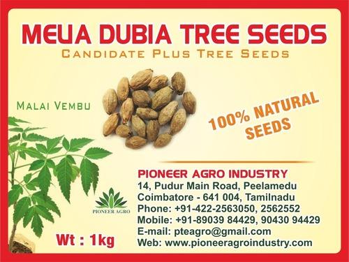 Melia Dubia Tree Seed