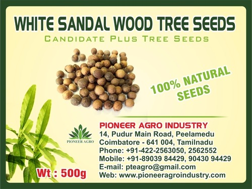 White Sandal Wood Tree Seed
