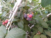 Fresh Rasberry