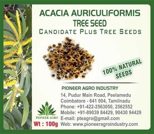 Acacia Auriculigormis Tree Seed