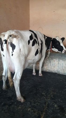 Hf Cow Trader In Noida