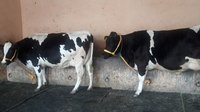 best hf cow provider in india