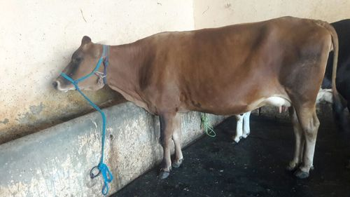 top quality jersey cow supplier