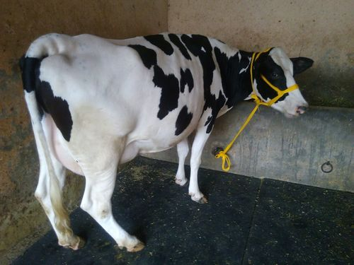 high milking hf supplier in u.p