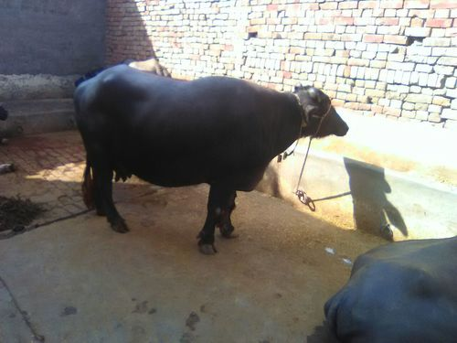 murrah buffalo trader in india