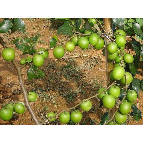 Thai Apple Ber Plant