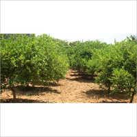 Beed Mousumbi Plant
