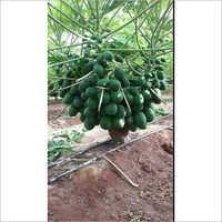 Taione Papaya Plant