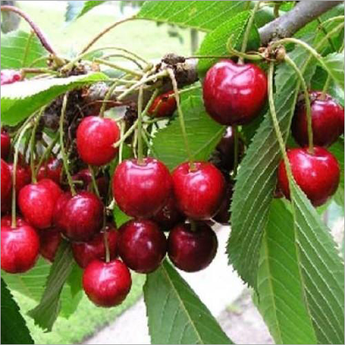 Red Cherry Plant