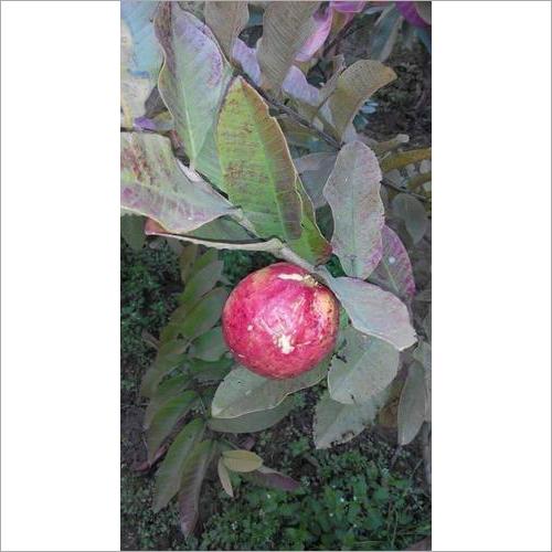 Apple Guava Plant