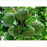 Thai Custard Apple Plant