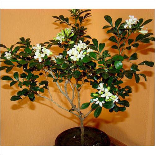 Kamini Plant
