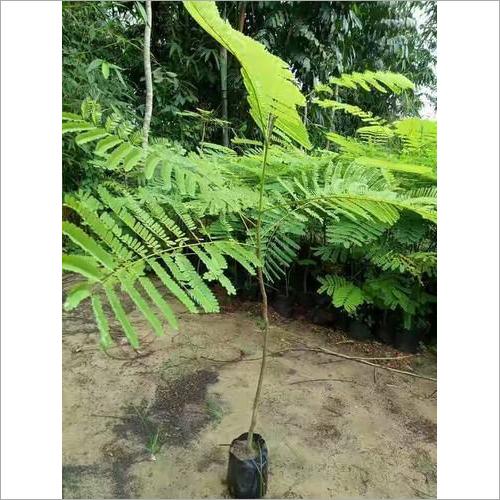 Gulmohor Plant