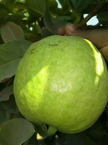 VNR Raipur Guava Plant