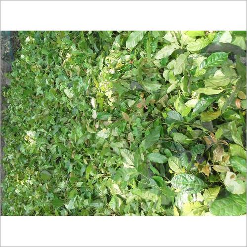 Hybrid Mohogni Plants