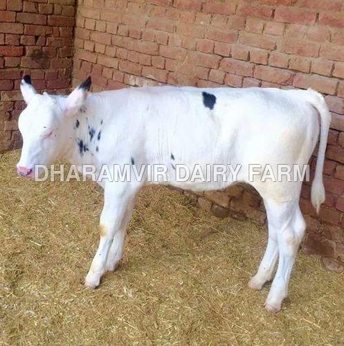 White hf calf
