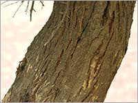 Acacia Arabica Bark