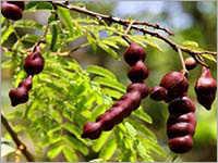 Acacia Concinna Bark