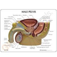 Human Pelvis Male Model